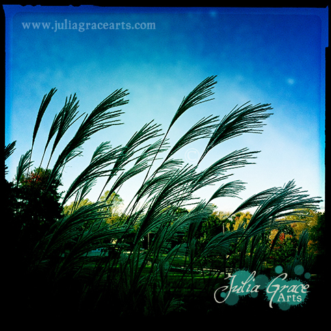 A photograph of some species of invasive decorative grass against a deep blue sky