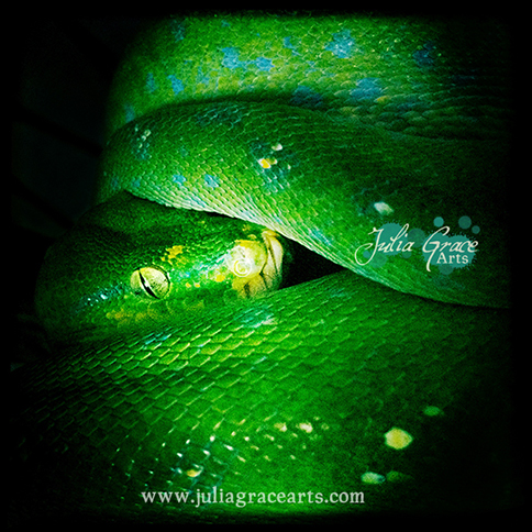 A dark and mysterious close-up portrait of a green tree python with her head between a few coils.