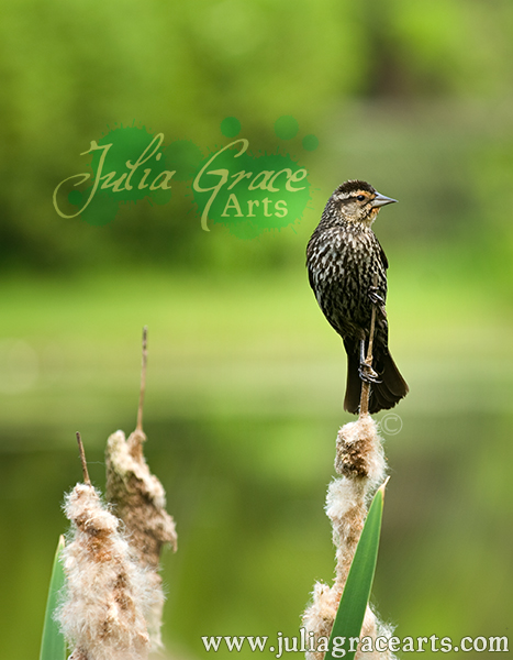 Female Redwing Blackbird on Cattail