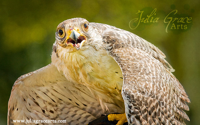 A gyrfalcon mantling and panting