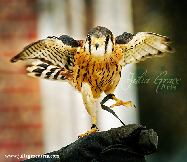 A Kestrel Falcon throwing a fit