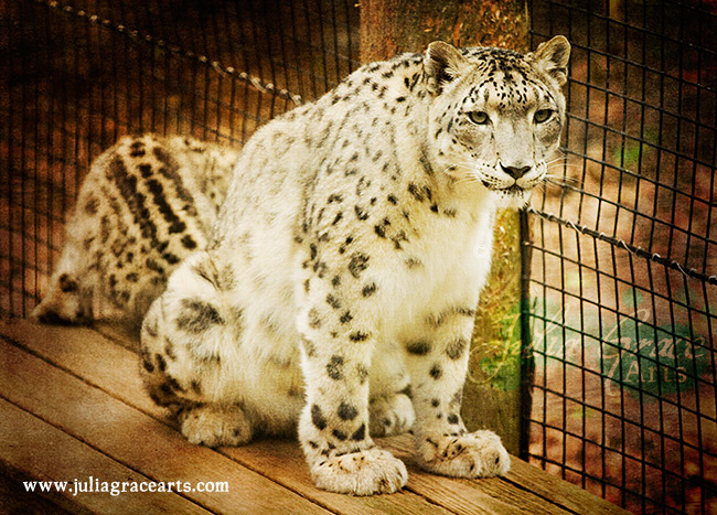 A breeding adult female snow leopard