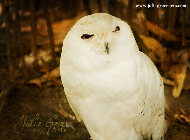 A snowy owl glaring